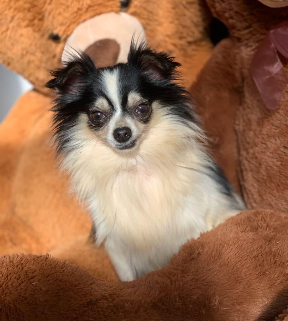 Perritos Chihuahuas