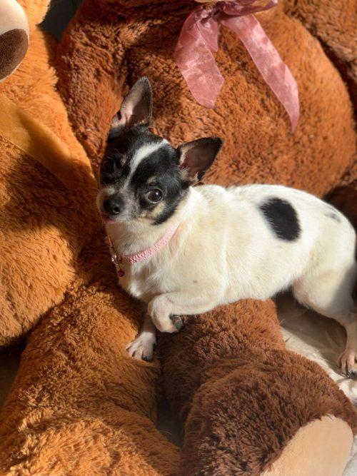 Chihuahua Hembra para Compañía