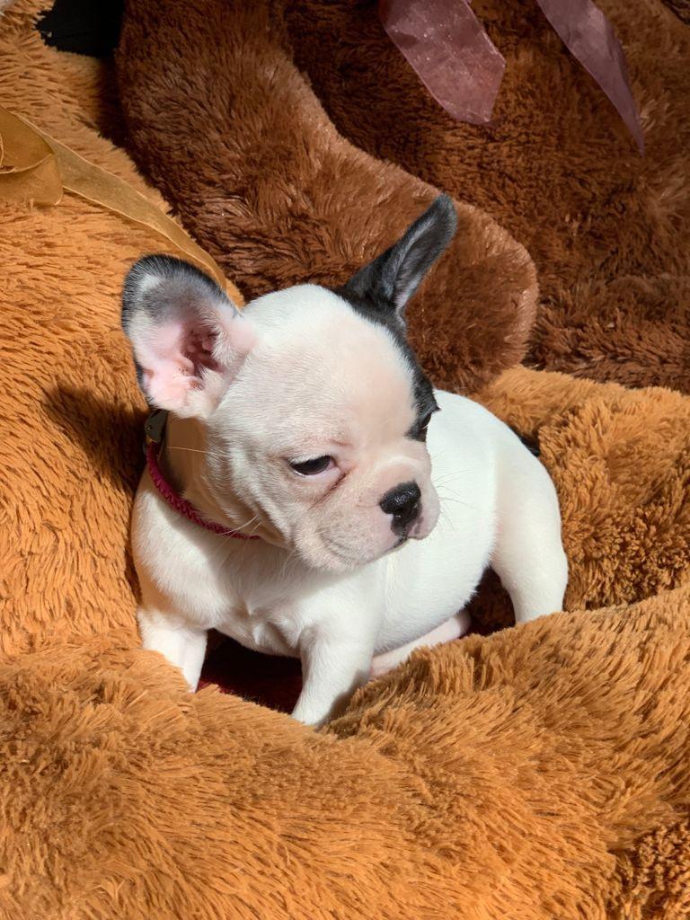 Tesoros y Miniaturas Bulldog
