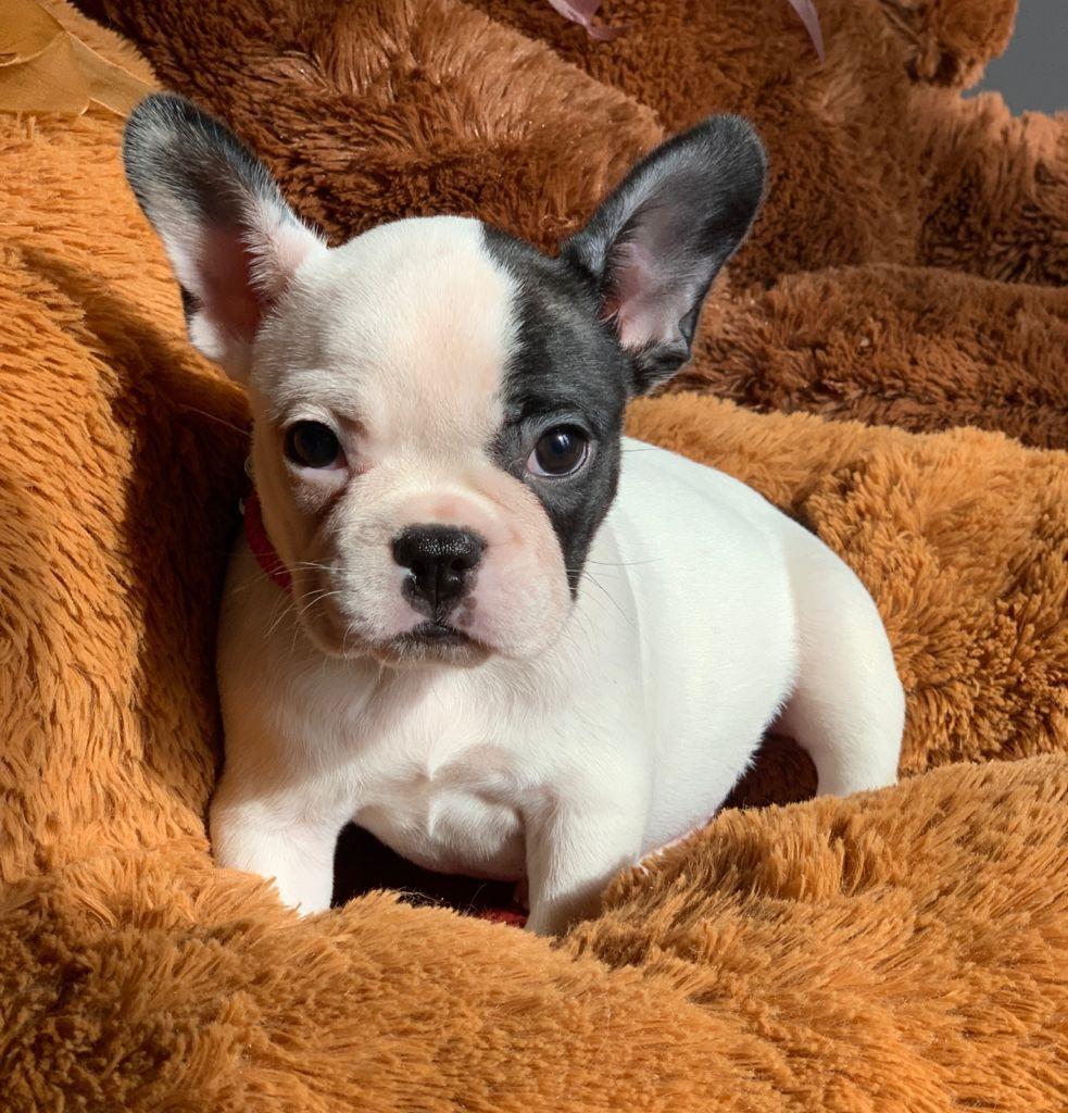 Bulldog Vaquita