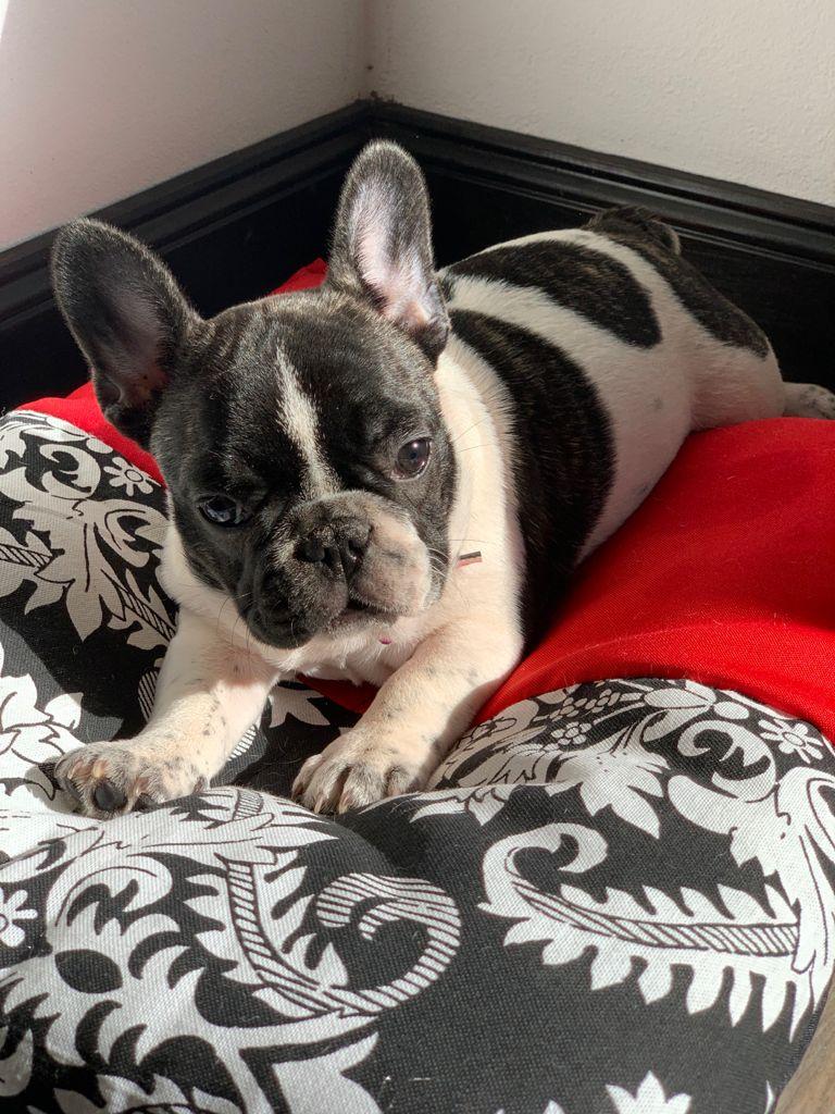Bulldog Francés Vaquita