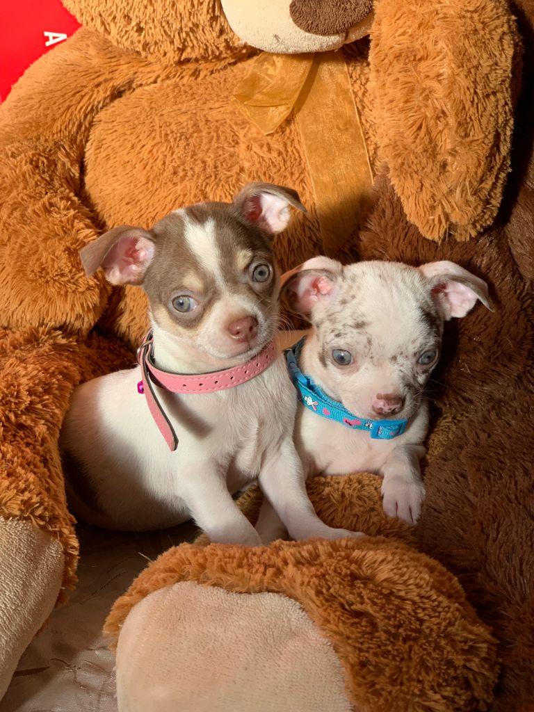 Perrito Chihuahua Merle en Venta