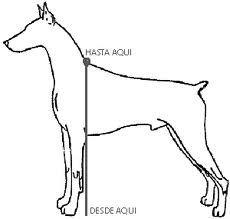 medir altura perro