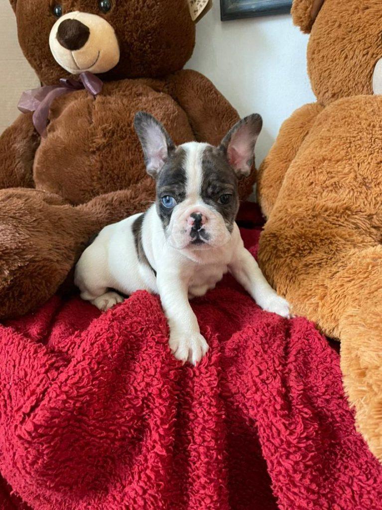 Bulldog Ojos Claros