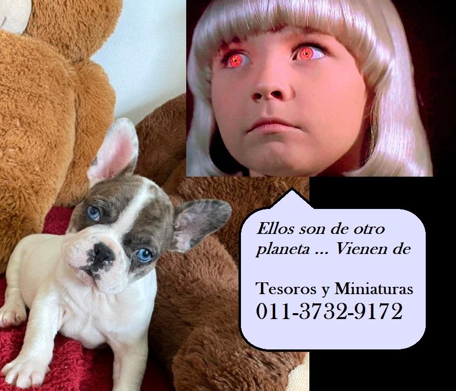Bulldog Frances de Ojos Azules
